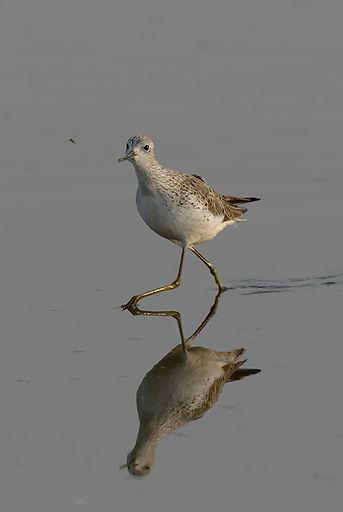In het Lauwersmeer april 2011 heb ik deze Poelruiter (zeldzaamheid) op de foto gezet.
