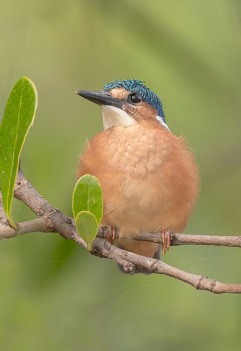 Malachietijsvogel