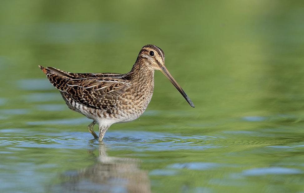 Vogelfotografie Watersnip.