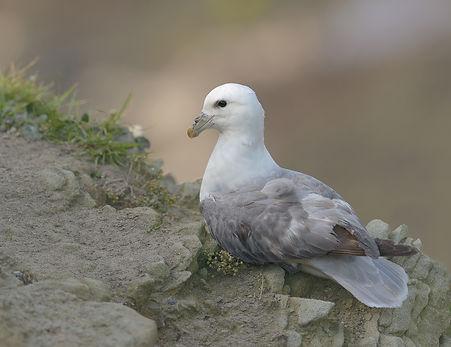 Vogelfotografie Farne Island,  Noordse Stormvogel