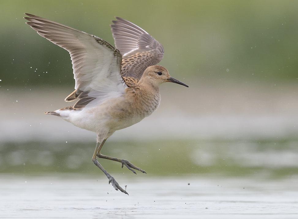 Vogelfotografie, Juveniele Kemphaan