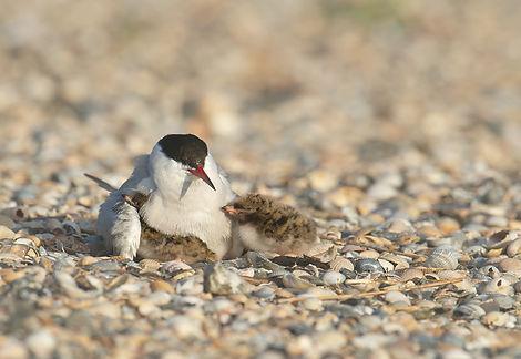 Vogelfotografie Texel. Visdief.