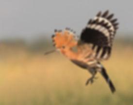 Vogelfotografie Bird in flight Hop.