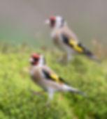 Vogelfotografie, Putter