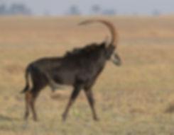 Zambia, Kafue NP, Sabelantilope.