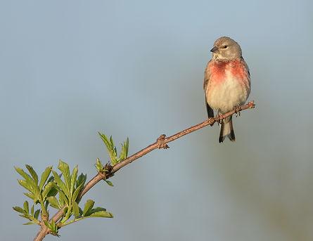 Vogelfotografie Texel.  Kneu
