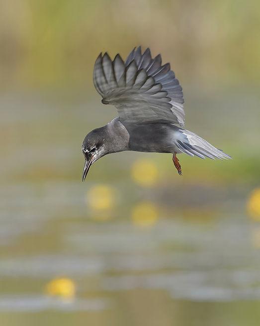 Vogelfotografie Zwarte Stern.
