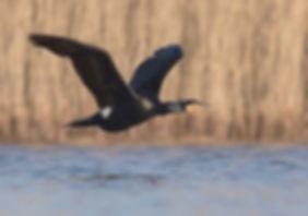 Vogelfotografie Aalscholver.