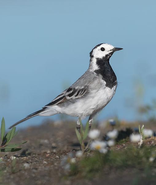 Vogelfotografie Witte Kwikstaart.t_DSC9418.jpg