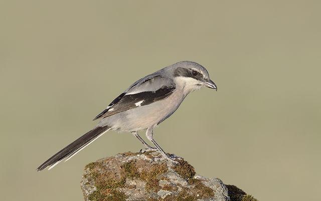 Vogelfotografie Toledo, Spanje,  Iberische Klapekster.