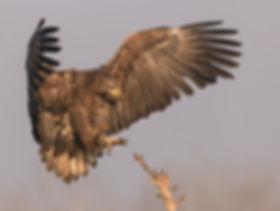 Vogelfotografie, Hongarije,  Zeearend