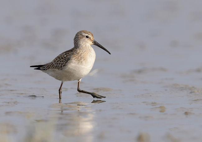 Krombekstrandloper gefotografeerd bij Waddenzee.
