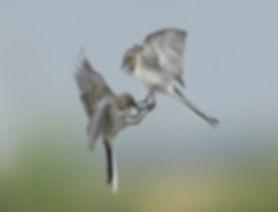 Vogelfotografie Bird in flight Witte Kwikstaart.