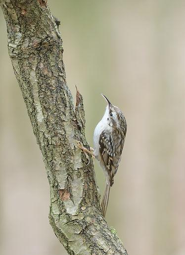 Vogelfotografie, Boomkruiper
