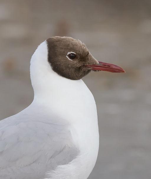 Vogelfotografie, Kokmeeuw, Texel