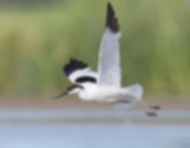 Vogelfotografie Bird in flight Kluut.