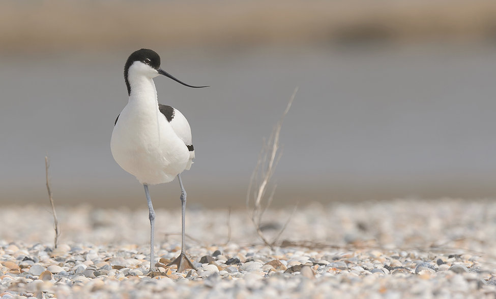 Vogelfotografie Texel. Kluut