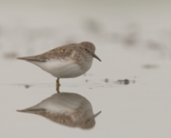 Vogelfotografie Temminck's Strandloper.