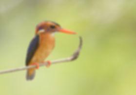 Afrikaanse-Dwergijsvogel_DSC3472.jpg