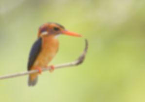 Afrikaanse Dwergijsvogel, Gambia.