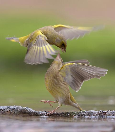 Vogelfotografie, Groenling