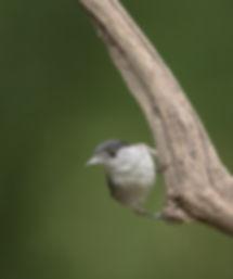 Vogelfotografie Hongarije, Zwartkop.