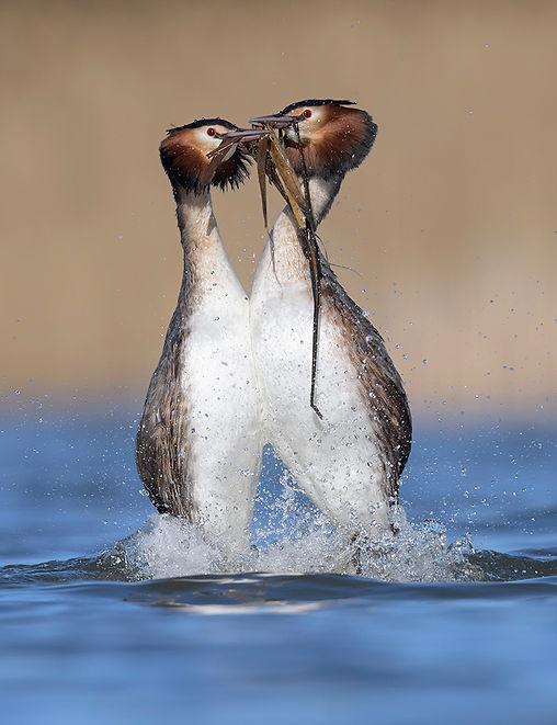 Pinguindans van de futen tijden de balts.