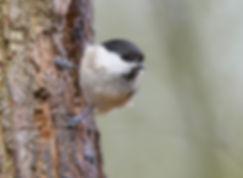 Vogelfotografie,  Glanskop