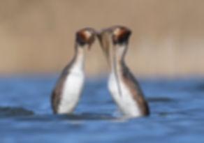 Pinguindans Futen.