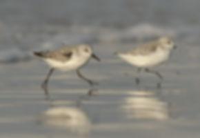 Drieteenstrandlopers rennen langs de kust van Terschelling.