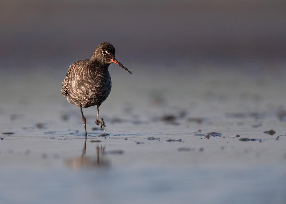 Vogelfotografie, Zwarte Ruiter