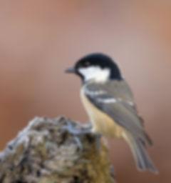 Vogelfotografie, Zwarte-Mees, Schotland