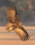 Hooded Vulture (Kapgier)