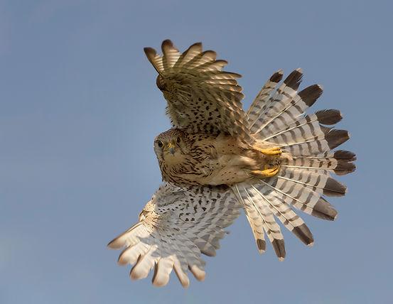 Vogelfotografie Hongarije, Torenvalk.