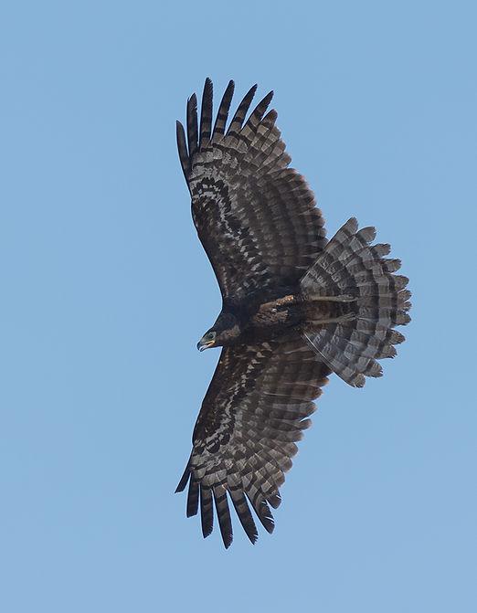 African Harrier Hawk, juveniel (Kaalkopkiekendief)