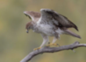 Vogelfotografie Toledo, Spanje,  Havikarend.