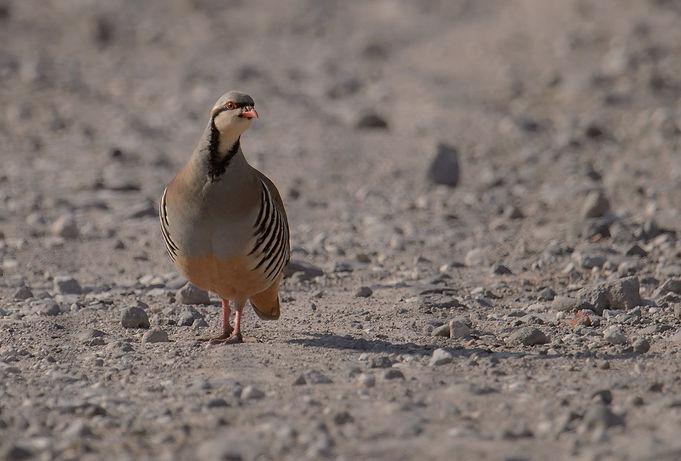 Vogelfotografie Lesbos, Steenpatrijs.