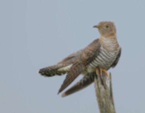 Vogelfotografie Koekoek.