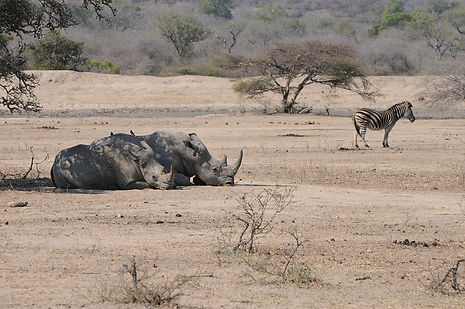 Zuid Afrika, Neushoorn.