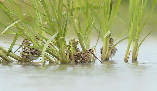Watersnippen zoeken dekkig bij gevaar!.