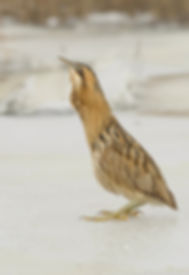 Vogelfotografie Roerdomp.