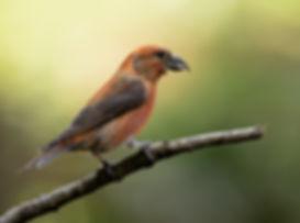 Vogelfotografie, Kruisbek.