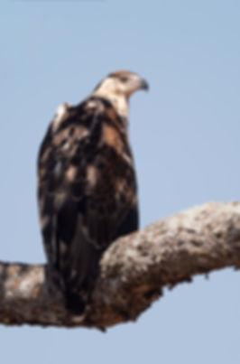 African Fish Eagle, juveniel (Afrikaanse Zeearend)