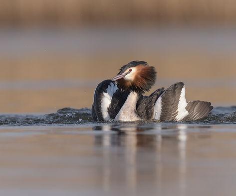 Terwijl de vleugels worden uitgestrekt komt de Fuut meer boven het water uit.