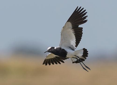 Vogelfotografie Smidsplevier.