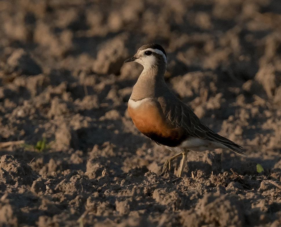 Vogelfotografie, Morinelplevier.