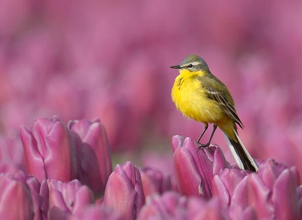 Vogelfotografie Texel. Gele Kwikstaart.