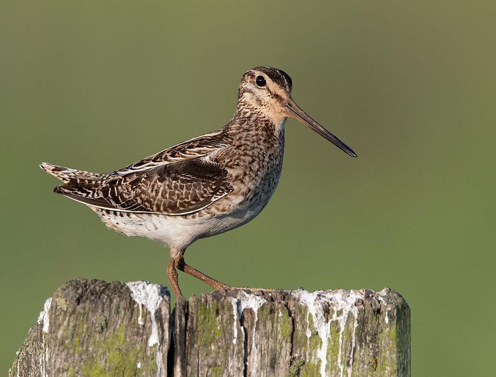 Vogelfotografie, Watersnip