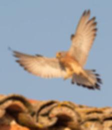 Vogelfotografie Bird in flight Kleine Torenvalk