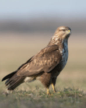 Vogelfotografie, Hongarije, Buizerd